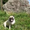Ich bin Joya. Ein reinrassiger «Krüppel»-Mops aus Ungarn