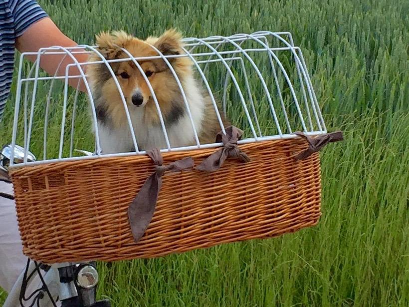 Hund im Korb oder Deva lässt sich fahren