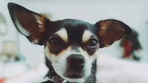 Colette, Chihuahuadame aus Wien.
