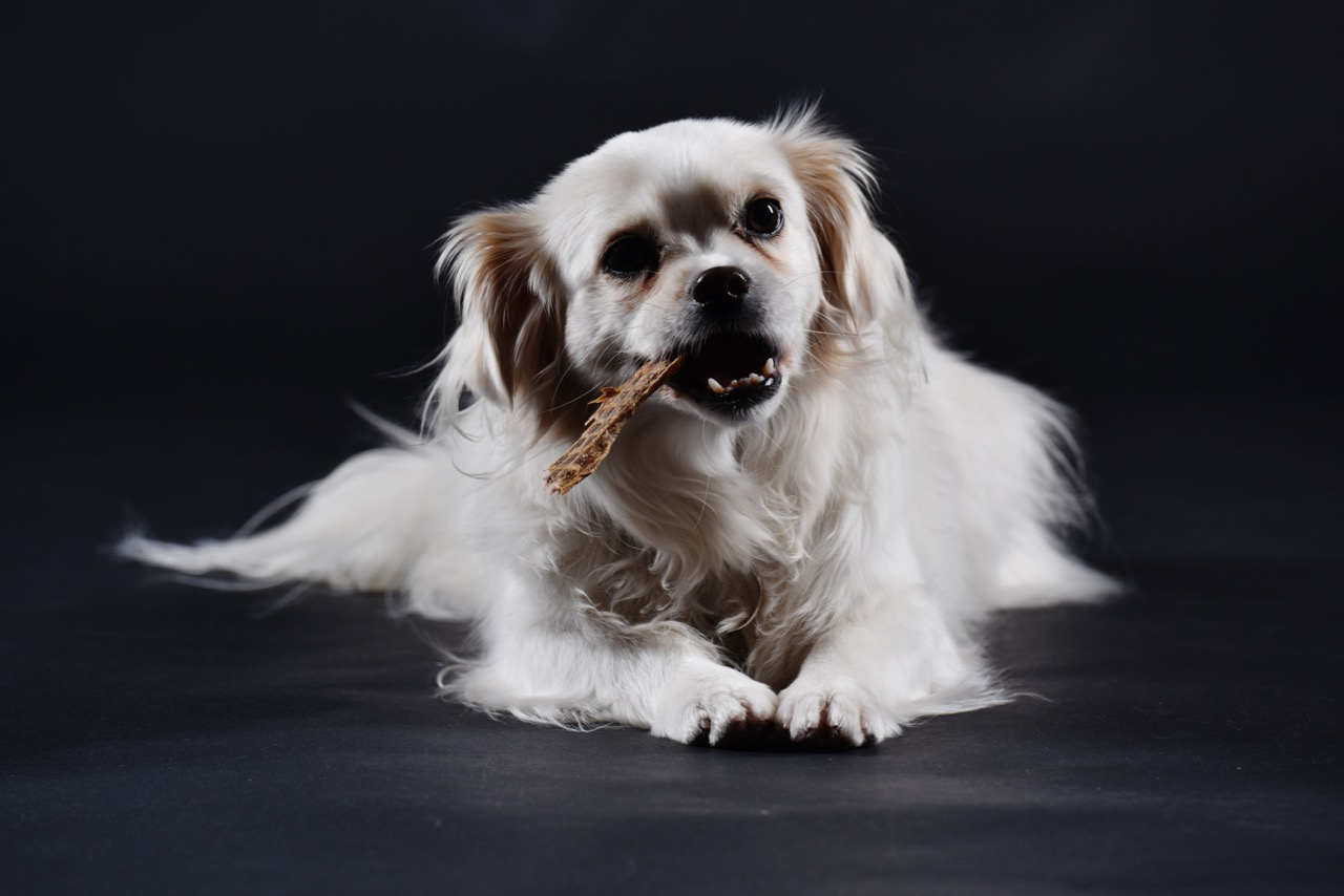 Kauender Hund im Fotostudio